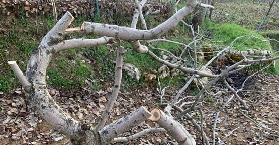 Vicdansızlar 15 Yıllık Fıstık Ağaçlarını Kesti