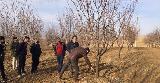 İlimizde Fıstıktan Sonra Badem ve Ceviz Yetiştiriciliği Yaygınlaştı
