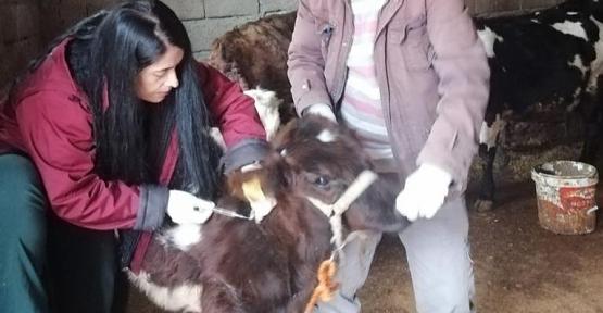 Siirt'te Büyükbaş Hayvanlara Şap ve LSD Aşısı Yapılacak