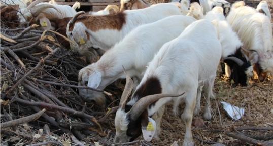 Boer keçisi