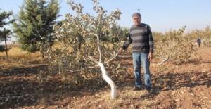 Bahçesindeki Fıstık Ağaçlarını Kesenlerden Şikayetçi Oldu