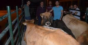 Genç Çiftçilere Büyükbaş Hayvan Dağıtımı...
