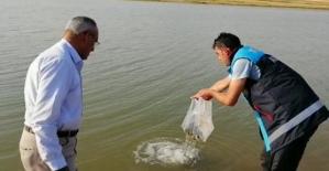 Kurtalan İlçesi Ekinli Göletine 60 Bin Adet Yavru Pullu Sazan Balığı Bırakıldı