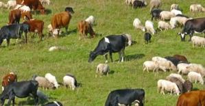 Siirt'te Büyükbaş Hayvan Sayısı Artarken, Küçükbaş Sayısı Düştü