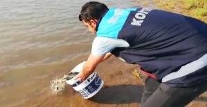 Göletlere  55.000 adet Yavru Pullu Sazan Balığı Bırakıldı