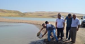 Kurtalan'daki Göletlere 120 Bin Adet Aynalı Sazan Balık Bırakıldı