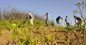 Atabağlı Çiftçiler Bağlarını Buduyor